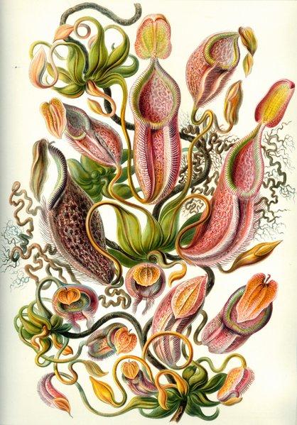 418px-haeckel_nepenthaceae.jpg